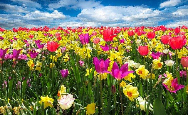 Země tulipánů